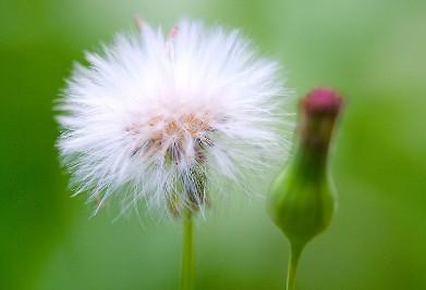 为菊科植物蒲公英带根全草