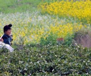 贵州省黔东南龙泉镇硒锌茶采摘