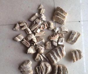 """四川村民溶洞内发现""""六排牙齿化石"""""""