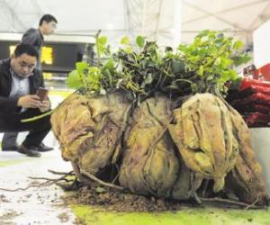 """四川农博会今开幕 198斤巨型红薯""""红""""了"""