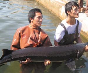 哈尔滨天价鱼饭店所卖鳇鱼为养殖